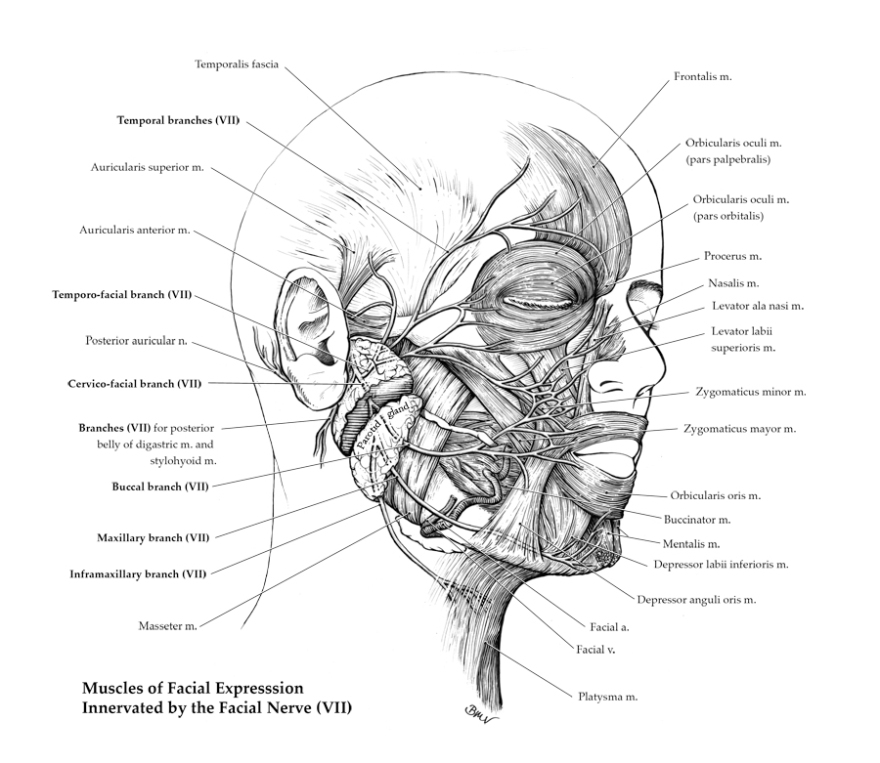 Branches of the Facial nerve (Pen and Ink)