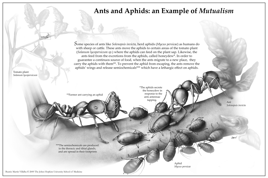 Ants and Aphids (Graphite and Adobe© Photoshop) - Award of Merit - Student Instructional Tone by the Association of Medical Illustrators (AMI) Salon 2009