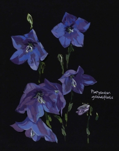 Platycodon grandiflorus, Balloon flower (Gouache on black paper)